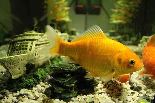 goldfish luck