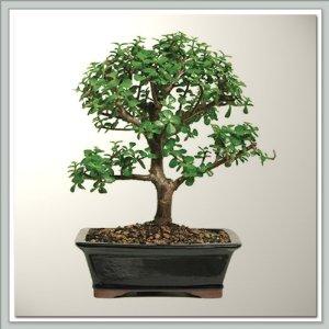 jade tree jade luck