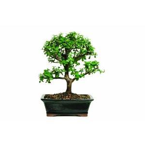 Jade Tree Plant